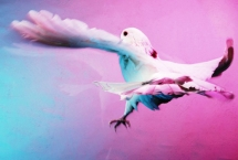bird-fantail-pigeon2
