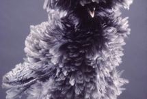chicken-grey-frizzle