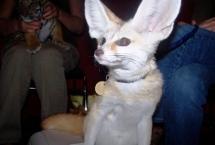 fennec-fox-2-9-2-09