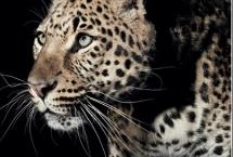 leopard-photoshoot