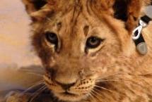lion-cub-pier59studios2