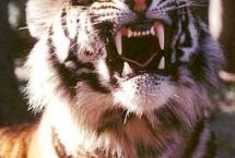 tiger-nila